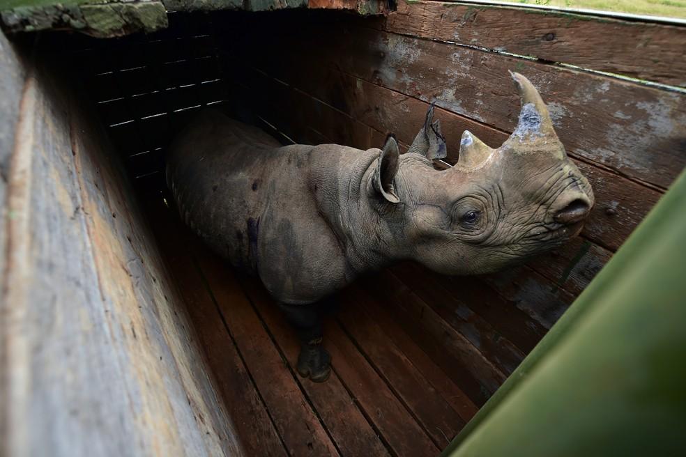 Rinocetonte-negro posicionado para o transporte no Quênia (Foto: Tony Karumba/AFP)