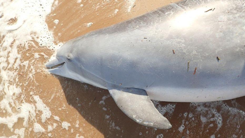 Os filhotes do golfinho não sobreviveram (Foto: Institute for Marine Mammal Studies)