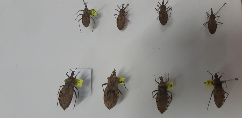 Barbeiro é o transmissor da Doença de Chagas; dois casos da doença foram registrados em RO — Foto: Toni Francis/G1