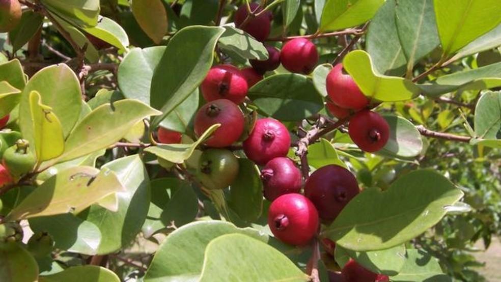 Araçá vermelha: além da fruta, a árvore, muito comum nos pomares domésticos da região da Serra do Mar, também é procurada pela madeira e sua casca usada para curtir peles — Foto: Slow Food Brasil via BBC