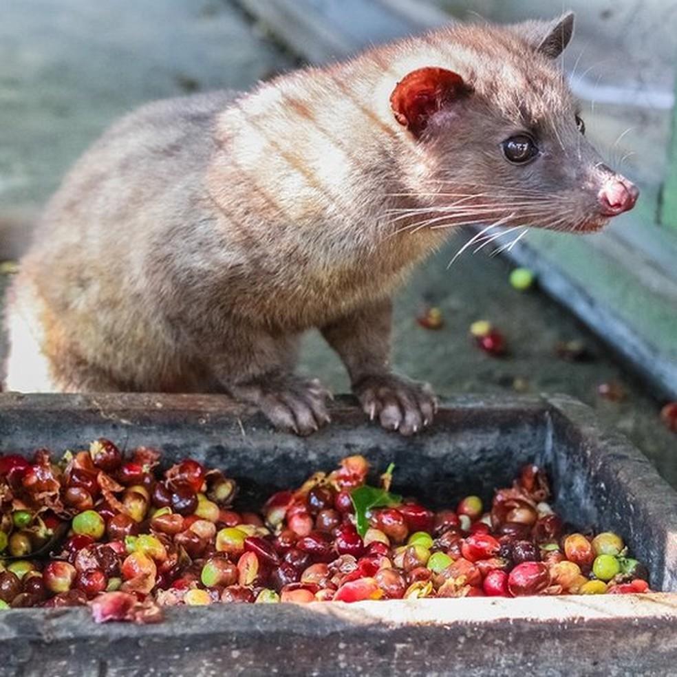 Os grãos do café Kopi Luwak foram comidos, parcialmente digeridos e depois defecados pelo civeta de palmeira asiática — Foto: Getty Images