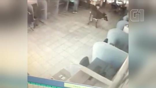 Bezerro 'invade' lan house e chama atenção de comerciante no interior de SP