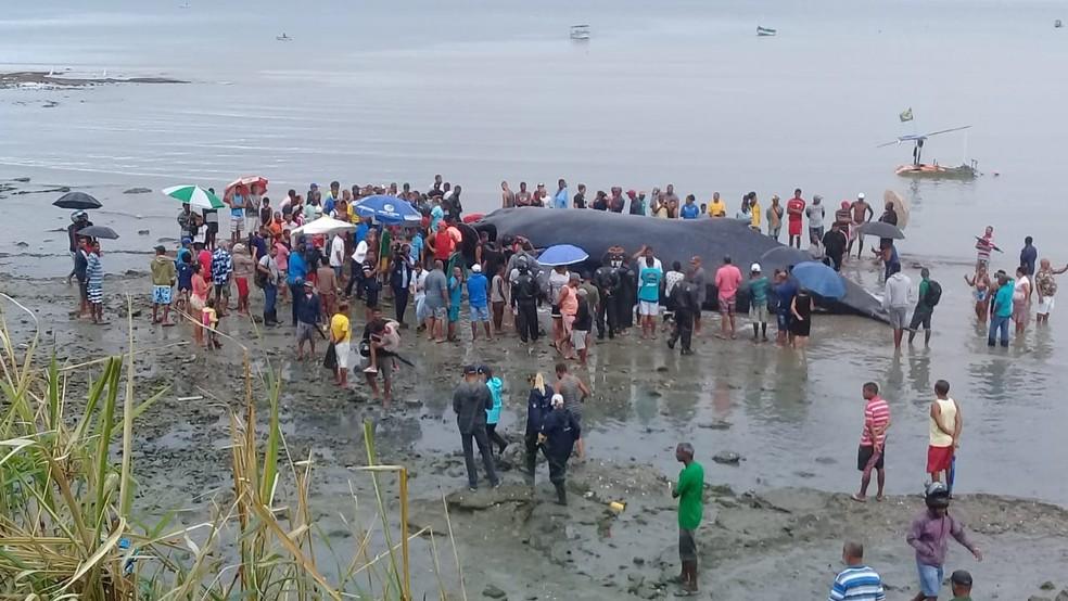 Baleia encalhada em Coutos — Foto: Cid Vaz/TV Bahia