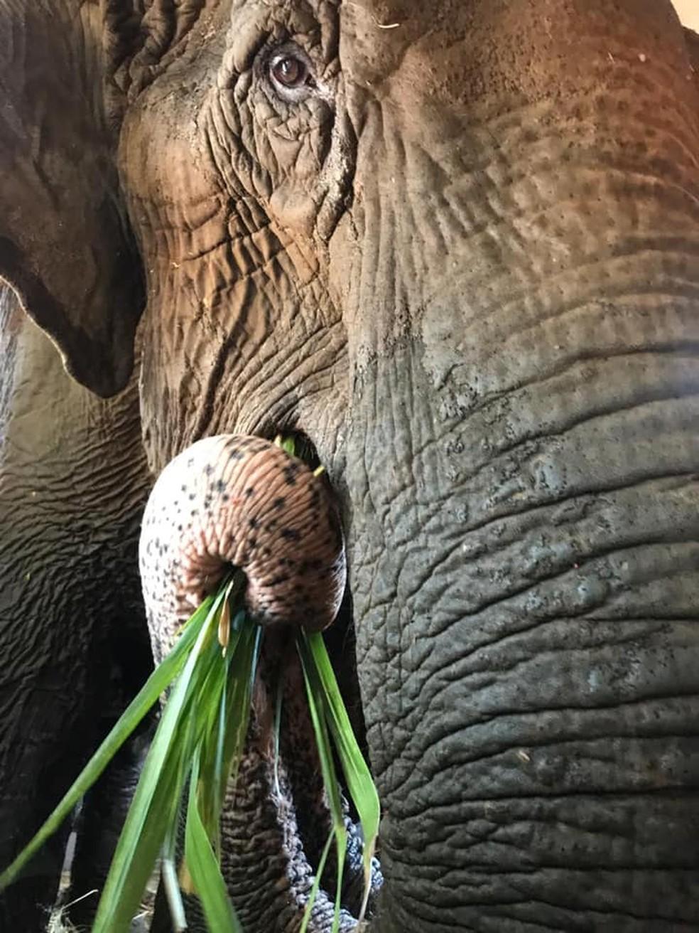 Ramba foi resgatada de um circo onde sofria maus-tratos — Foto: Santuário dos Elefantes/Divulgação