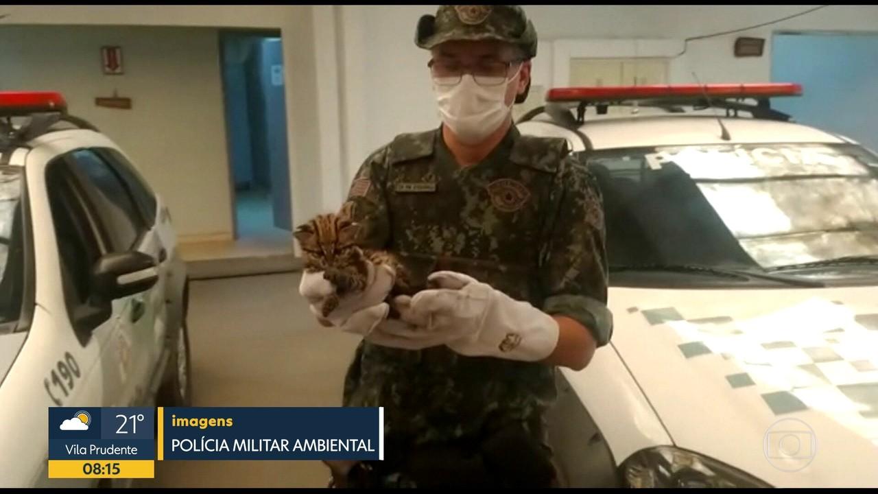 Filhote de jaguatirica é resgatado na região de Cotia