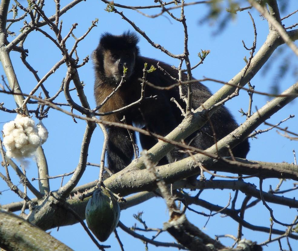 Macaco-prego forma grupos entre oito e 16 indivíduos (Foto: Abrão Gomes/VC no TG)