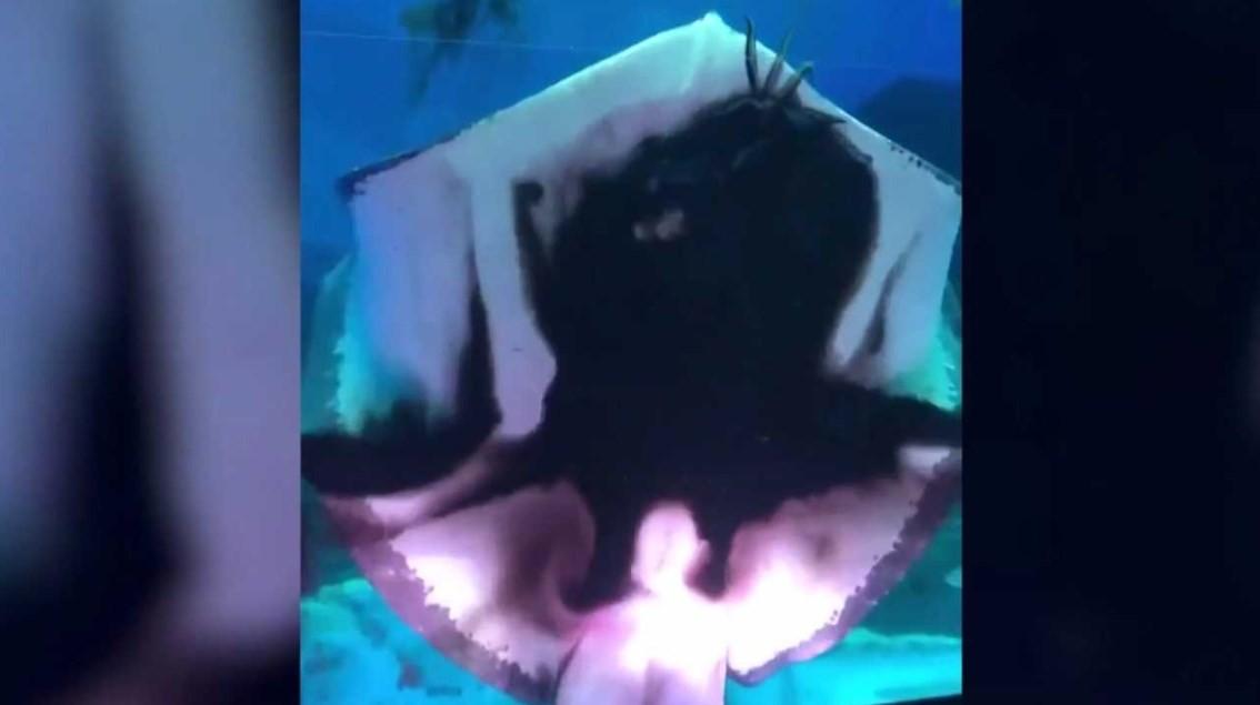 Arraia devora lula em aquário japonês