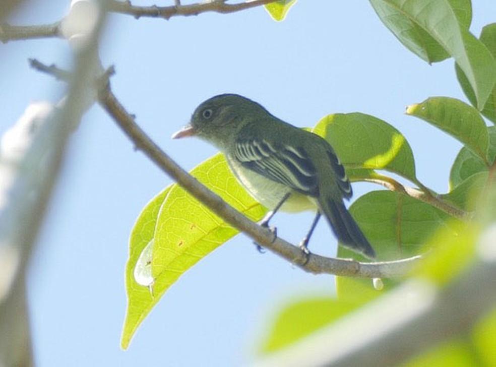 Pássaro Poiaeiro-de-Chico Mendes foi registrado pela primeira vez em 2009, no sul do Amazonas (Foto: WWF/Divulgação)