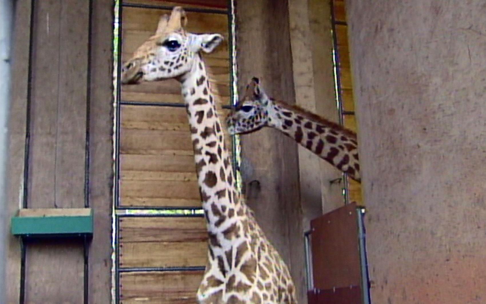 Transporte de girafas e pouso de avião;  veja curiosidades da Anhanguera e Bandeirantes  - Noticias