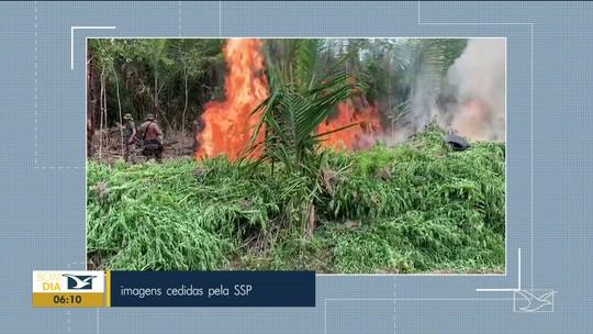 Operação policial destrói plantação de maconha no Maranhão