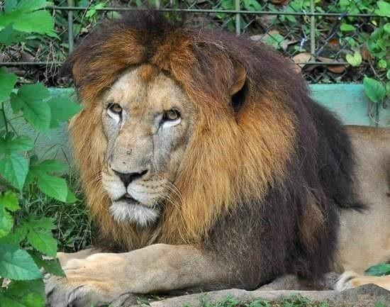 Leão do Horto de São Vicente, SP, morre aos 14 anos por complicações de câncer