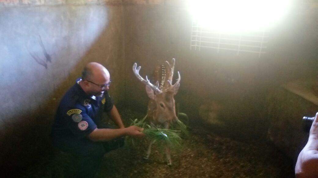 Cervo encontrado em Porto Alegre é de espécie asiática com criação proibida no Rio Grande do Sul