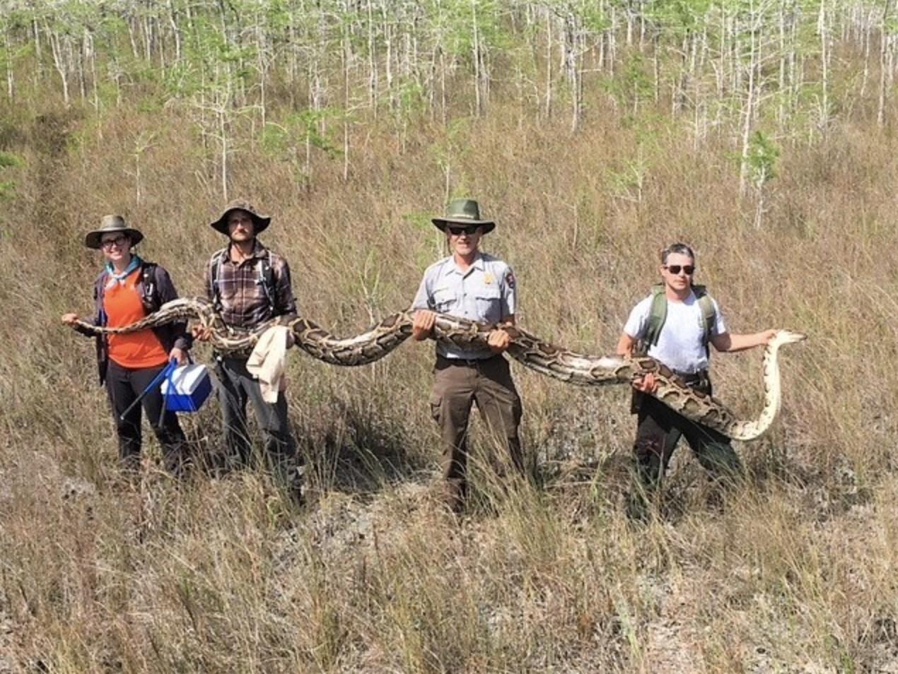Cobra gigante é capturada na Flórida (Foto: Big Cypress National Preserve/ Facebook)