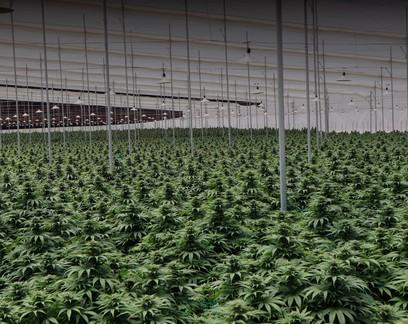 Startup brasileira faz compra milionária de medicamento e cannabis da Colômbia