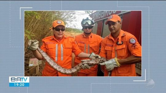Jiboia com 2 metros é encontrada por moradores em povoado no oeste da Bahia
