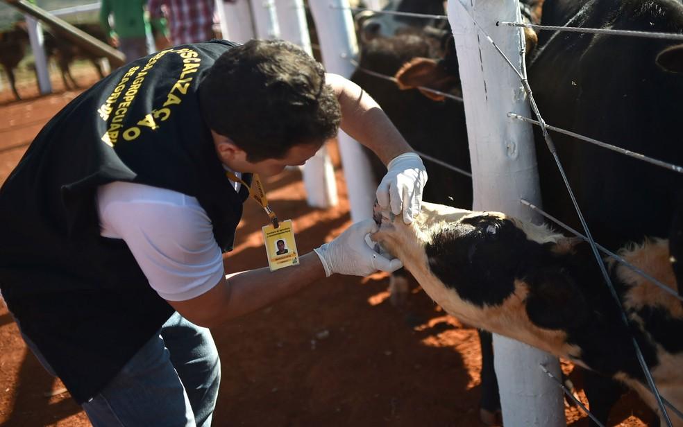 Homem vacina rebanho contra febre aftosa — Foto: Andre Borges/Agência Brasília/Arquivo