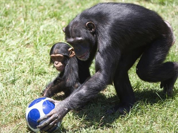 Chimpanzé treina seu filhote com a bola ganha em zoológico (Foto: AP)