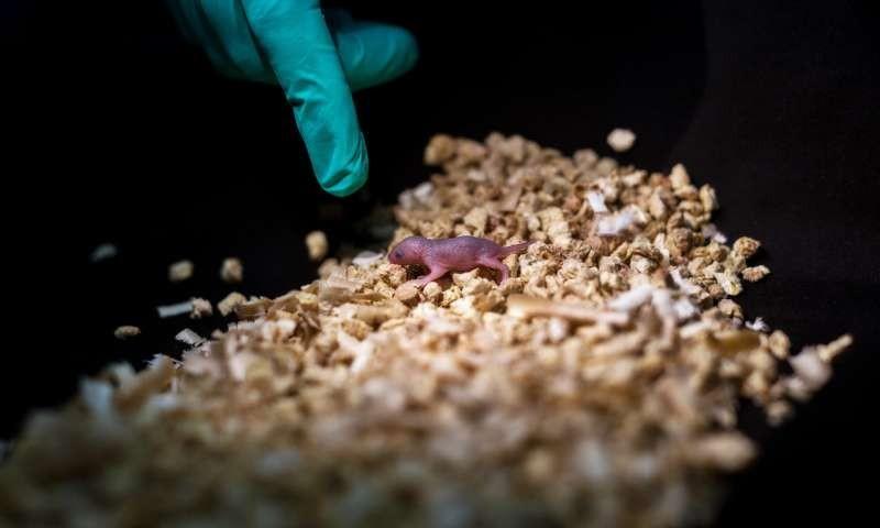 Rato desenvolvido a partir de dois machos (Foto: Reprodução/Leyun Wang)