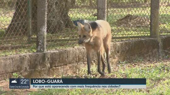Presença de lobos-guarás nas cidades é reflexo das queimadas e busca por comida, diz biólogo