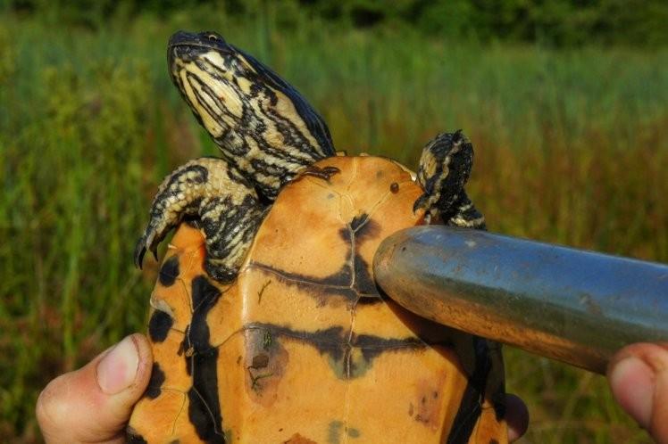 Cientista usa vibrador em tartaruga