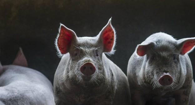Primeiro caso de peste suína nas Américas põe suinocultura do Brasil em alerta