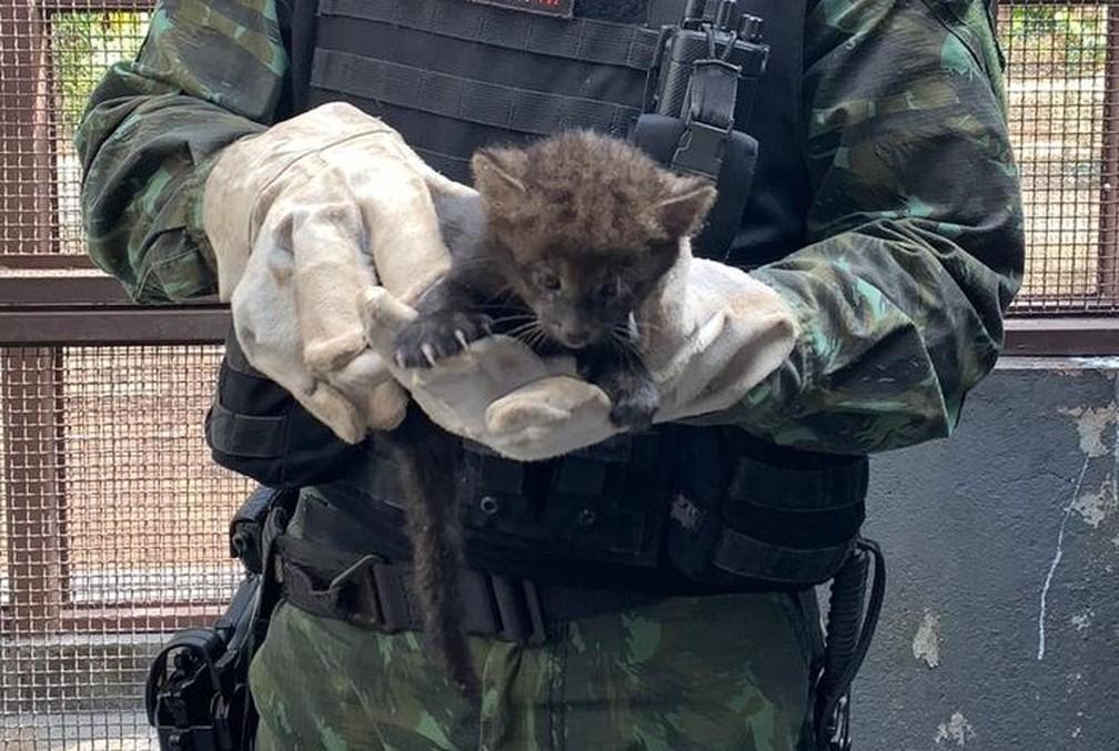 Veterinário da Cipa que atendeu filhote de gato-mourisco estima que felino tenha 50 dias de vida — Foto: Polícia Militar/Cipa/Divulgação