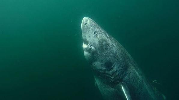 Tubarão da Groenlândia pode ter 512 anos