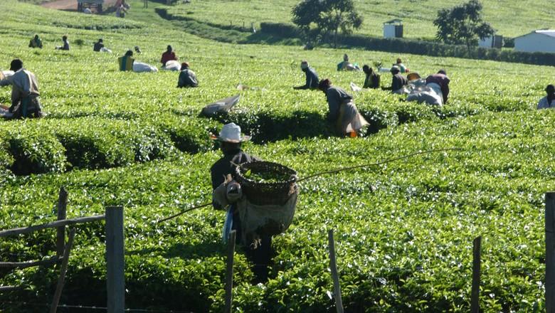 fao-cha-colheita-quenia (Foto: FAO)
