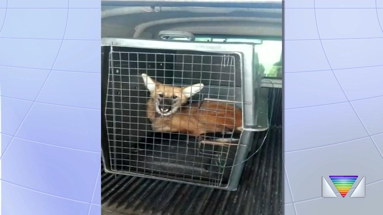 Lobo-Guará é resgatado em Santa Branca
