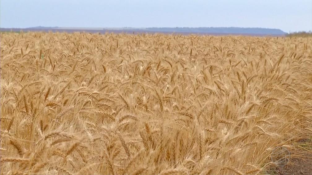 Brasil importa 6 milhões de toneladas de trigo por ano — Foto: TVCA/ Reprodução
