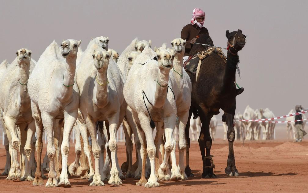 Homem conduz camelos durante concurso de beleza no anual Festival de Camelos King Abdulaziz em Rumah, na Arábia Saudita, em foto de 19 de janeiro (Foto: Fayez Nureldine/AFP)