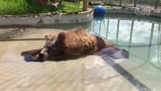 Ursa toma banho de piscina para aliviar calor acima de 30 °C no interior de SP; veja vídeo