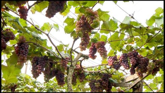Produtores de Marechal Floriano, ES, investem em uvas para diversificar plantio