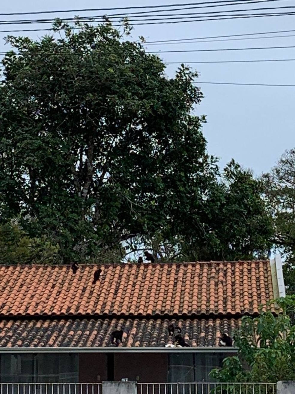 Macacos no telhado após furto de pão em São Francisco do Sul — Foto: Mateus Fernandes/Arquivo pessoal