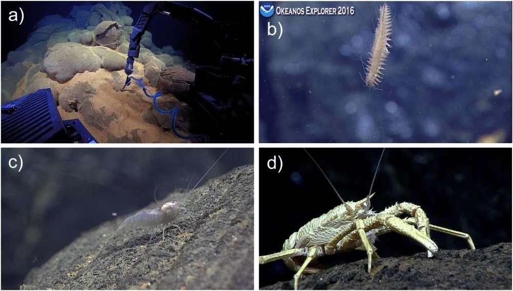 O braço do veículo (a), um verme poliqueta (b) e um camarão (c). A lagosta (d), que vive apenas em torno das fontes hidrotermais, é um dos primeiros colonizadores dos novos fluxos de lava que entraram em erupção no arco voltaico de Mariana (Foto: Chadwick et al./Frontiers in Earth Science)