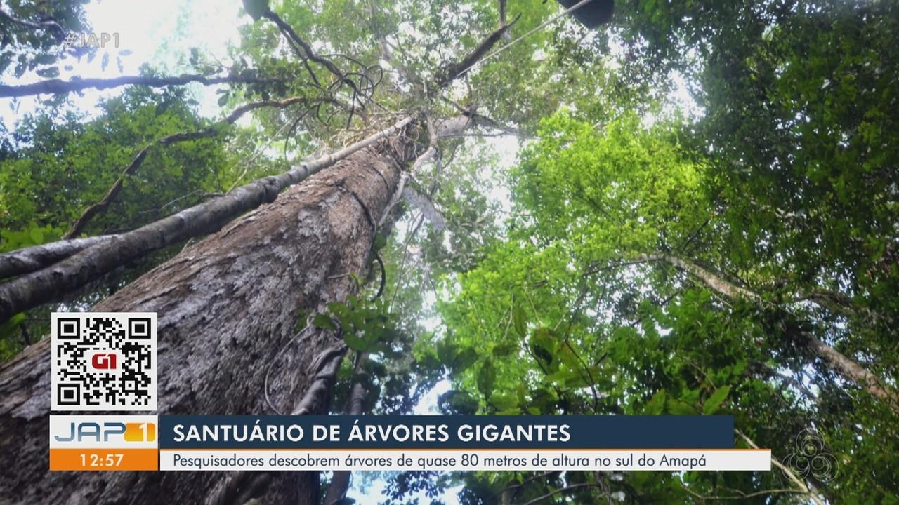 Santuário de árvores com mais de 80 metros de altura é descoberto no Sul do Amapá