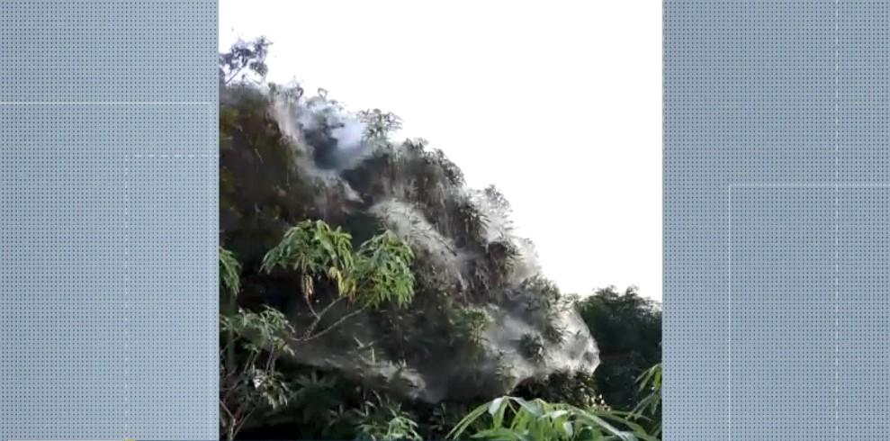 Vídeo mostra teias 'gigantes' de aranhas cobrindo copa de árvore no ES