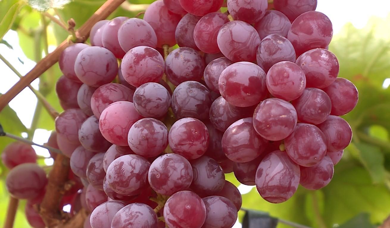 Embrapa e Abrafrutas lançam em Petrolina nova variedade de uva com sabor de frutas vermelhas
