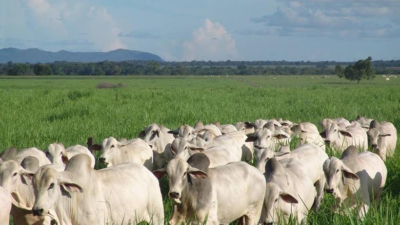 A raça tabapuã participa de julgamento e da Vitrine da Carne na ExpoZebu (Foto: Divulgação)