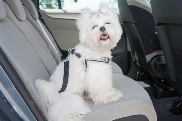 Cachorro no carro com equipamento de segurança (Foto: Thinkstock)
