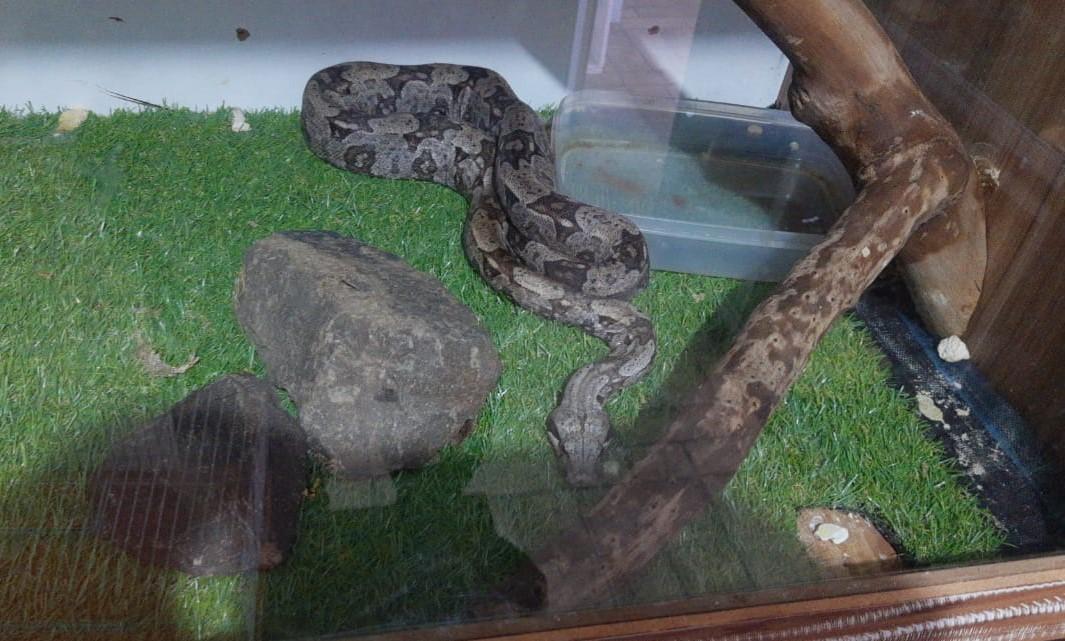 Polícia Ambiental apreende 19 serpentes e um lagarto exótico em casa de Mococa