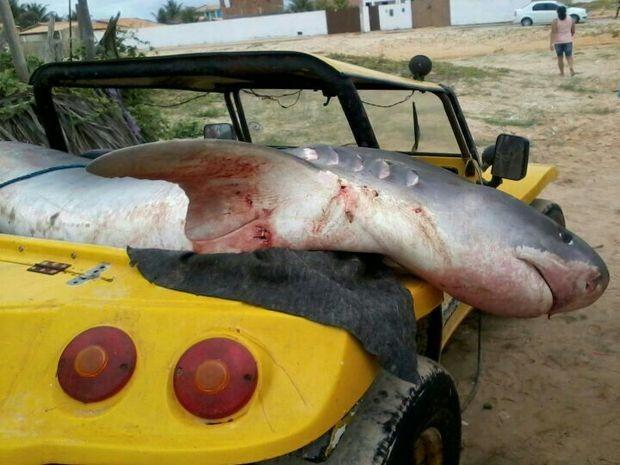 Tubarão foi capturado na manhã deste sábado na Praia do Abaís em Estância (SE) (Fot Reprodução/Diário Sergipano)