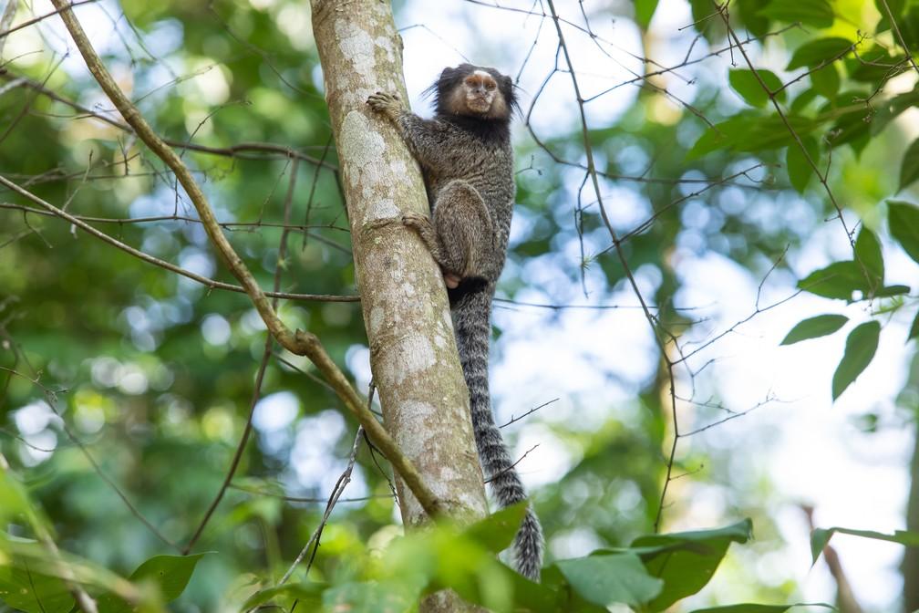 Saguis podem ser vistos no Parque Municipal do Córrego Grande em Florianópolis — Foto: Celso Tavares/G1