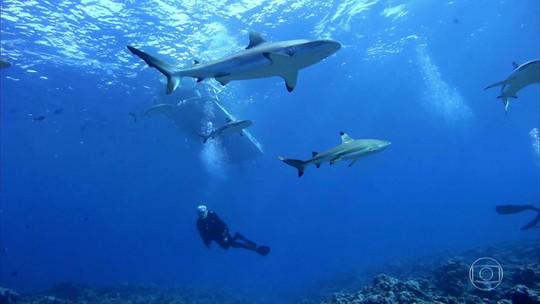 Equipe do Globo Repórter nada entre dezenas de tubarões na Micronésia