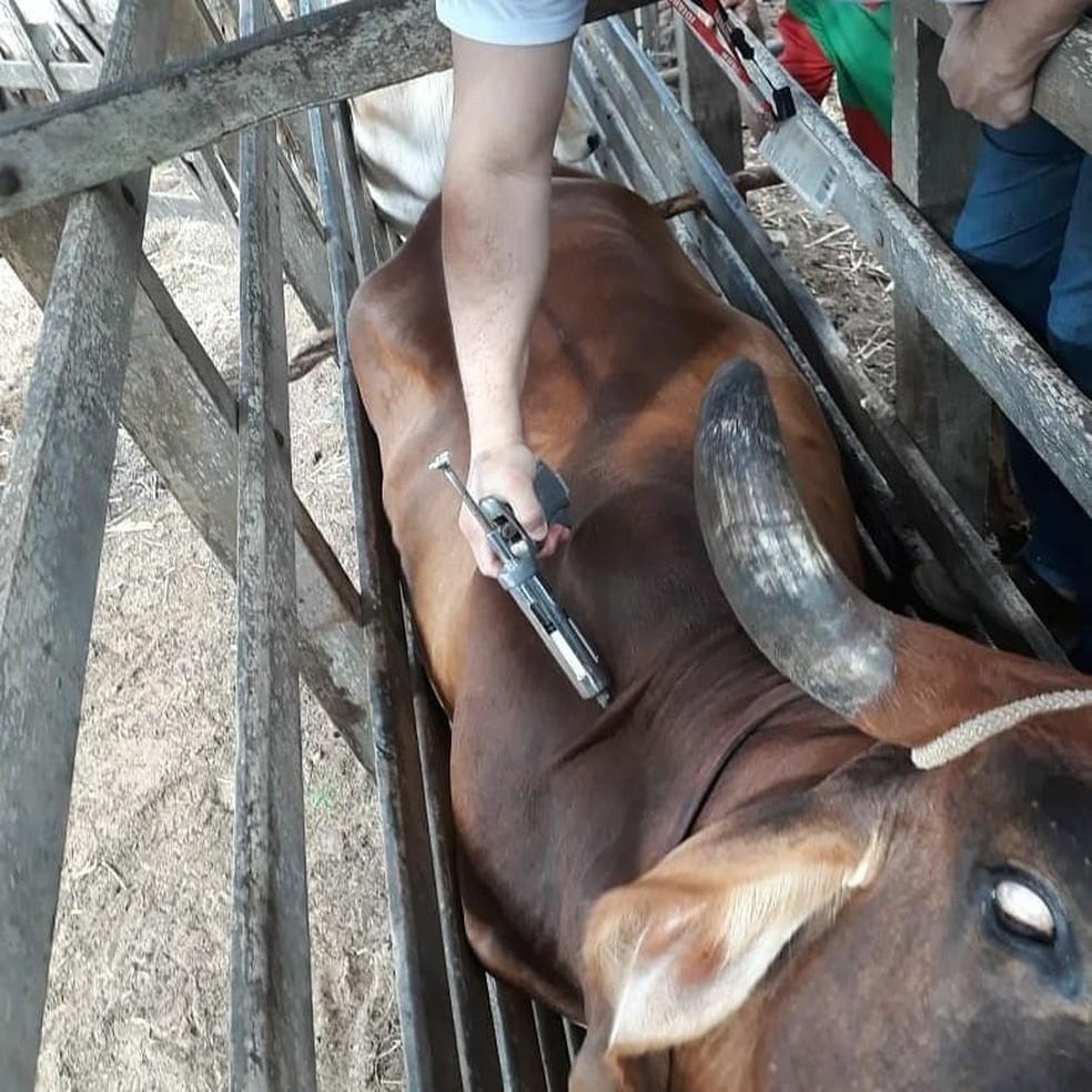 Campanha de vacinação contra febre aftosa imuniza 94% do rebanho no RN — Foto: Divulgação