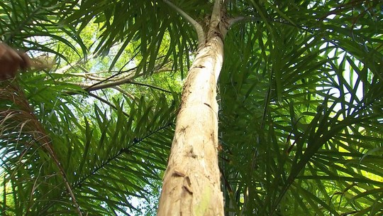 Produtores aproveitam resíduos da pupunha após colheita do palmito