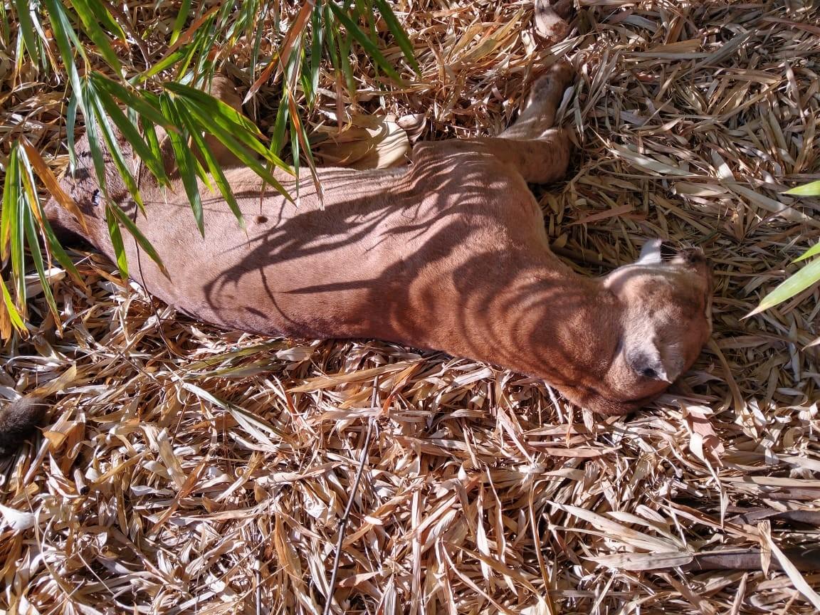 Com espécie ameaçada de extinção, onça-parda é encontrada morta com marca de tiro em Rancharia; veja VÍDEO thumbnail