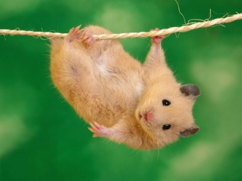 Hamster po