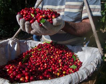 Avanço do coronavírus ameaça colheita de café no Brasil