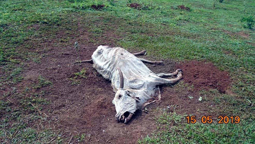 Uma das 17 cabeças de gado mortas — Foto: PMA/Divulgação